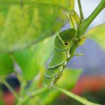 アゲハチョウ ~卵から蛹まで~