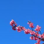 日本一の早咲き寒桜「日南寒咲1号」 ~日南市北郷駅~