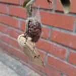 「森林病害虫」マイマイガのサナギ羽化しました・・・